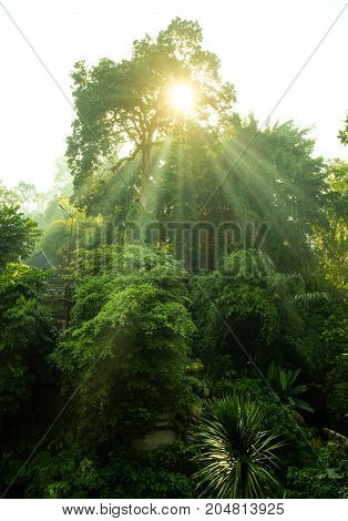 Sunlight Through Tree Beautiful morning in the forest Ubud Bali Indonesia.