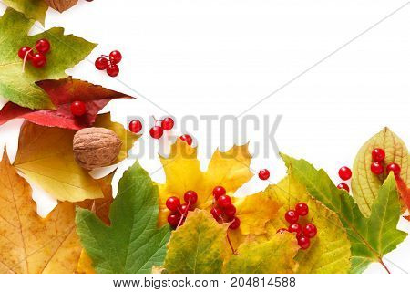 Autumn maple leaves, viburnum and walnuts frame isolated on white background with copy space. Beautiful fall yellow foliage border. Seasonal harvest concept, top view