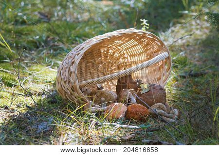 Woven basket and mushroom boletus in forest, horizontal