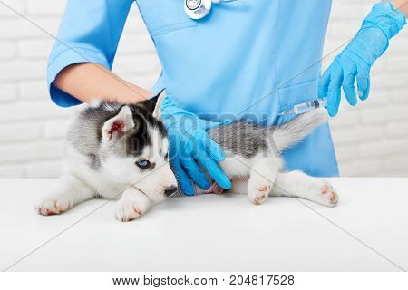 Puppy of husky dog with gray fur and blue eyes, lying on table in modern vet clinic, sadly looking at camera. Professional veterinarian doing injection with prick, caring about puppy. Vet concept.