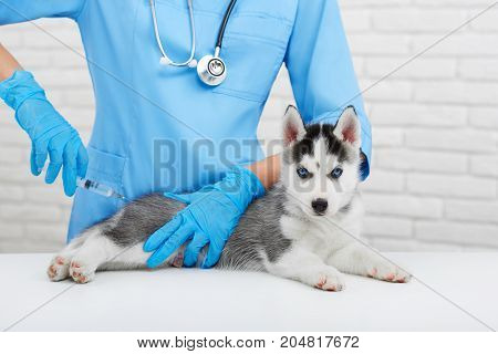 View of professional veterinarian caring about little dog, like wolf.  Doctor in blue uniform holding little puppy husky dog with blue eyes, doing injection with prick. Modern vet hospital.