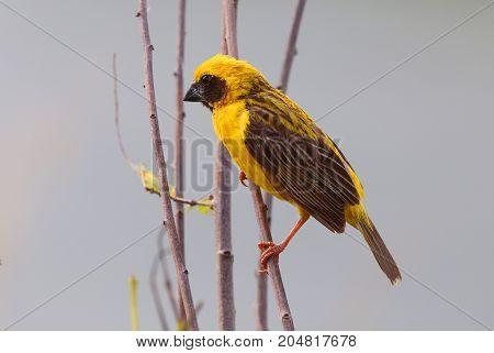 Asian Golden Weaver (Ploceus hypoxanthus)on the tree.