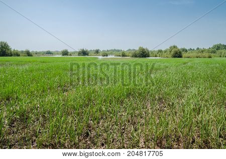 Field of rice in the West African country The Gambia, Africa.