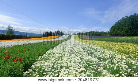 colorful flower field , nature background in summer
