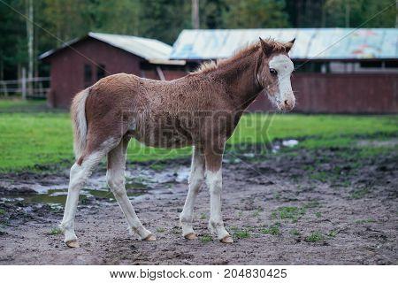 Cute brown 2 month old foal walking through the farm