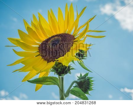Bright, yellow, backlit sunflower with head facing upward on blue sky background