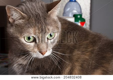 Grey Cat With Green Eyes On Home House Background