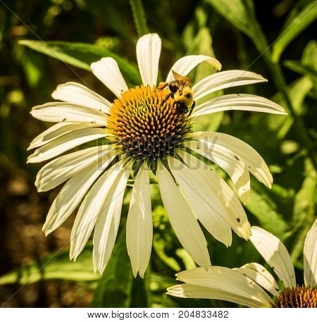 Bee gathering pollen from a white coneflower in a summer garden