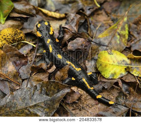 Fire salamander on the ground in forest closeup
