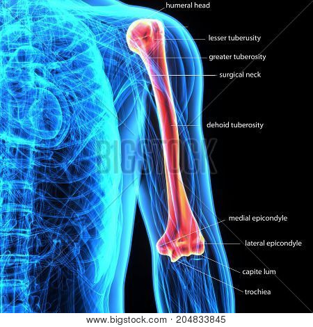 3D Illustration of Human Body Bone Joint Pains Anatomy (Humerus)