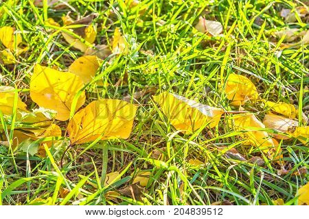 Yellow autumn leaves illuminated by the sun in the green grass backlit. Selective focus