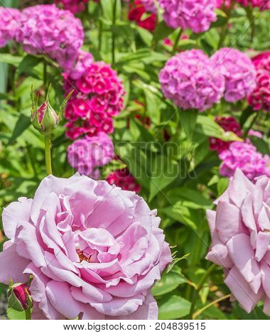 Flower of a pink rose against the background of a blossoming sweet-william in a summer garden close-up