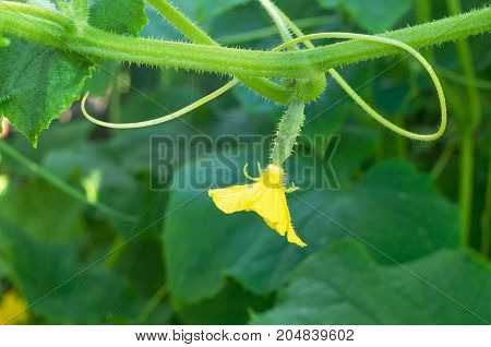 Little cucumber yellow flower and tendril, in summer