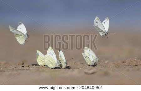 lots of white beautiful delicate butterflies landed on a sand beach in summer