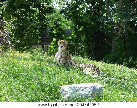 A cheetah laying down looking over it's environment.
