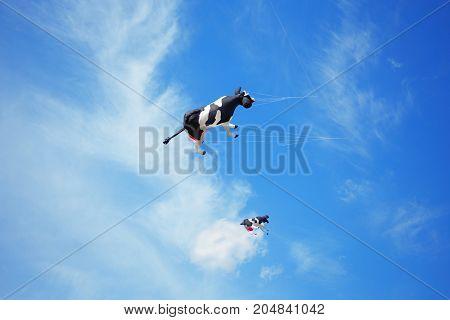 black white air cow kite flying high in the sky. Kite festival