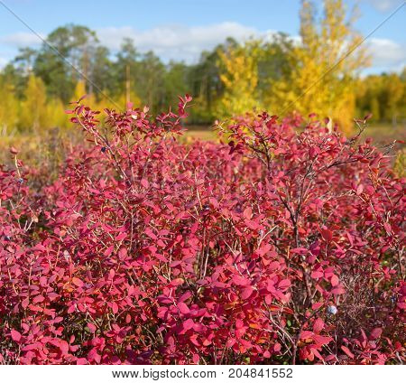 Autumn bright landscape with red bilberry bush