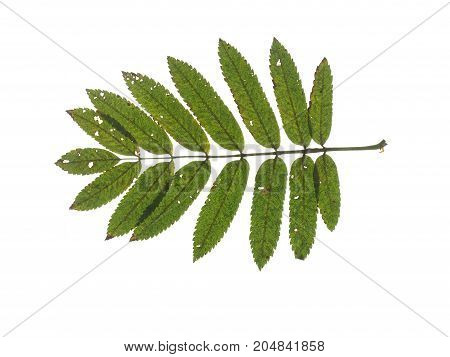 Green leaf of mountain ash isolated on white background.