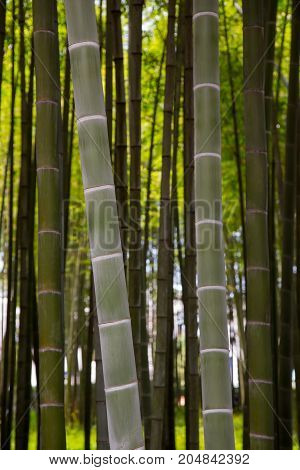 Many bamboo stalks and bamboo trees vertical
