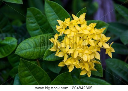 yellow spike flower or Ixora coccinea in the garden