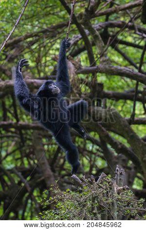 Baby Siamang Playing, Ragunan Zoo, Jakarta, Indonesia
