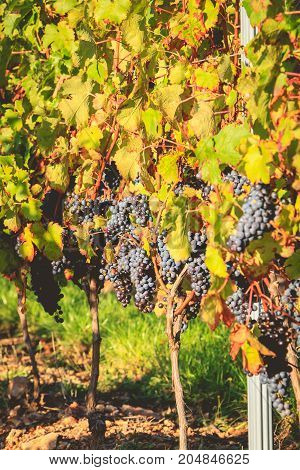 Bunches Of Ripe Grapes On Their Vines Before Harvest