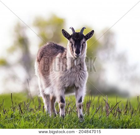 funny goat grazing in a lush green meadow clear day and looking directly at the camera