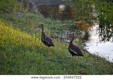 pair of black bellied whistling ducks in florida