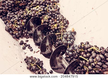 Bunches of grapes in vine press. Autumn harvest. Vintage theme. Purple photo filter.