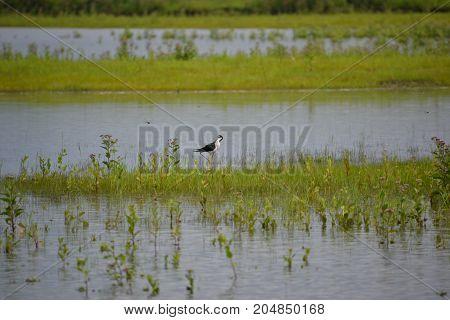 black necked stilt wading in a florida marsh