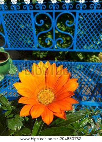 Flowering marguerite in orange color in the sunshine