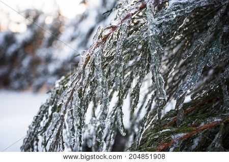 branches of spruce covered with ice after icerain