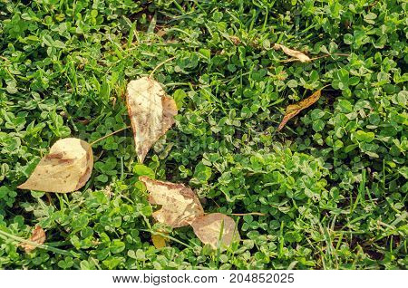 Dry yellow fallen autumn leaves lay on green grass