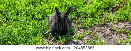 Black rabbit with long ears in green grass