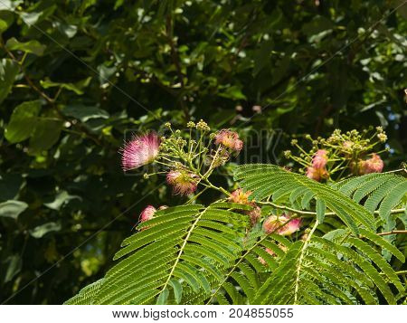 Flowers and buds on blooming Persian silk tree Albizia julibrissin with bokeh background close-up selective focus shallow DOF