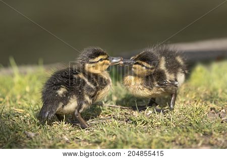 Mallard, Ducklings, Kissing On The Grass, Close Up