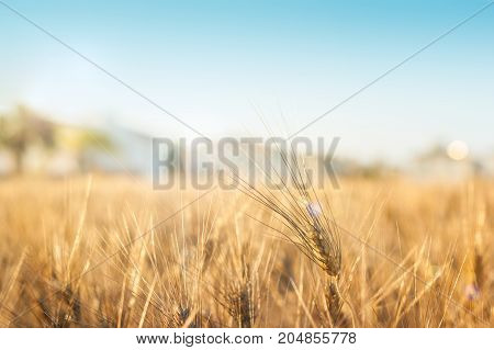 Gold wheat field and white houses. Background