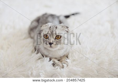 a young Scottish lop-eared cat lies on a white fluffy carpet