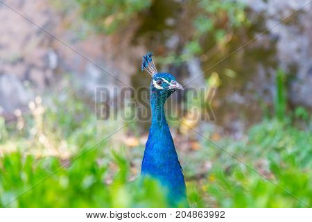 Head Bird Peacock In Plant And Grass