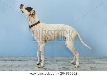 Standing English Pointer