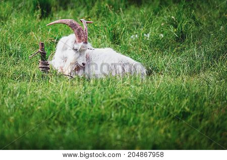 white goat with large horns lying on the grass