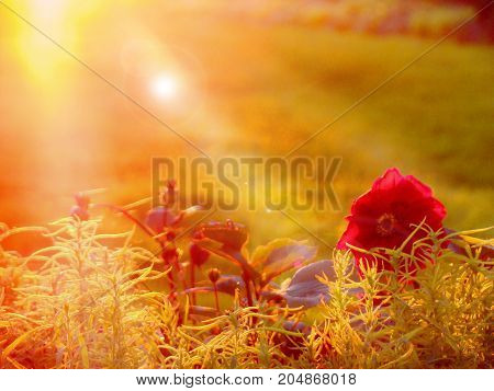 A lone red dahlia flower looks at the rays of the sunset.