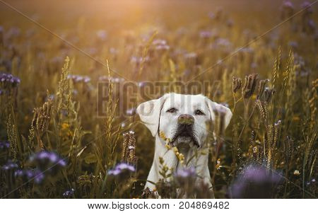 young white labrador retriever dog puppy in a field