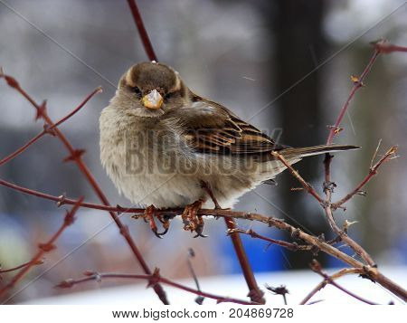 A small inflated furry sparrow and cold snow in the winter.