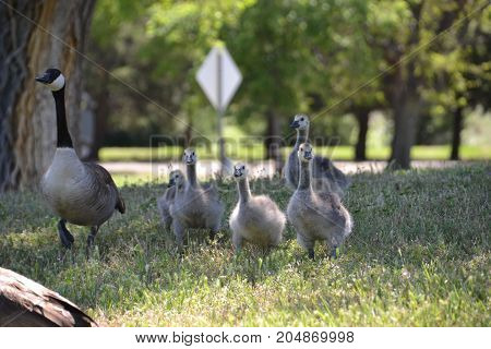 flock of canadian geese  searching for food