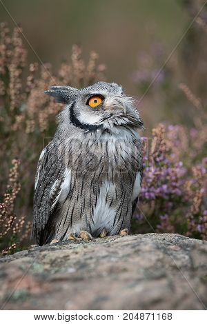 A close up full length portrait of a white faced scops owl standing on a rock and looking to the sky in upright format