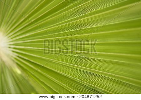 Green Palm branch texture macro background closeup