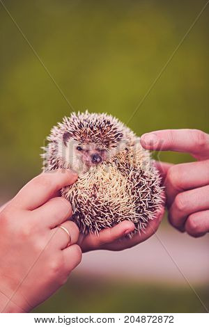 hedgehog curled up in a human hand