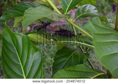 Langostas negras tropicales en la escena romántica