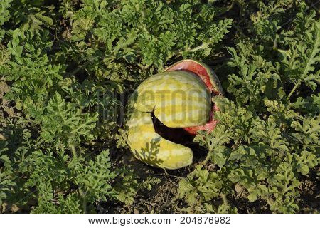 Chopped Old Rotten Watermelon. An Abandoned Field Of Watermelons And Melons. Rotten Watermelons. Rem